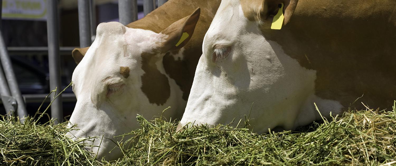 Bild zeigt Rindvieh beim fressen von Raufutter