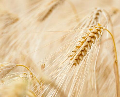 Bild zeigt Getreideähren